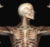 Anatomy-Human-Skeleton-Muscles-Xray-Bones